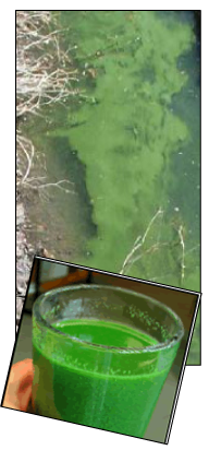 Blue-green algae is the lake and in a glass