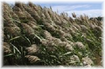 Phragmites blowing in the wind