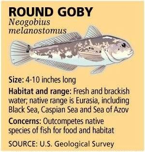 round goby 1